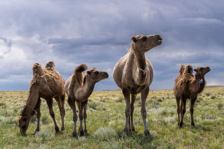 Herd of camels on the steppe of Mongolia with dark black rainy clouds in the sky.