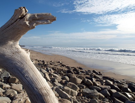 Drift wood tree on the California coast. Stock Photo - 4331126