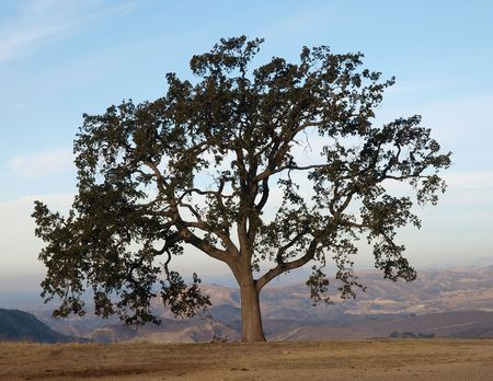 chatsworth: Lone Oak tree with a view in Chatsworth California.