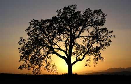 Warm sunset light behind a lone California oak tree.