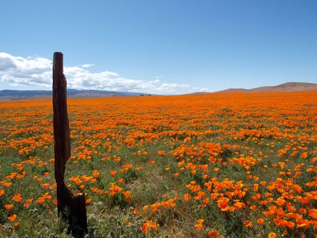 bask: Orange poppies bask in the Southern California sunshine.