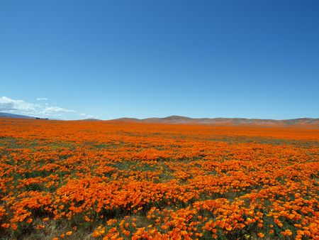 Spring time in the California Poppy fields.  A perfect place for a nap.   photo