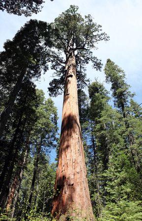 Giant Sequoia tree in Californias Calaveras Big Tree Park.   photo