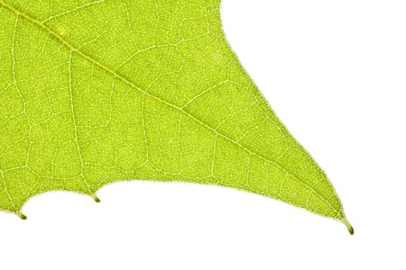 sicomoro: Sycamore foglia di primavera vicino dettaglio macro.