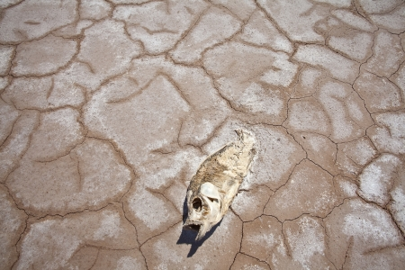 dead fish: Severe drought strands a fish on a parched dry lake in the western United States  Stock Photo