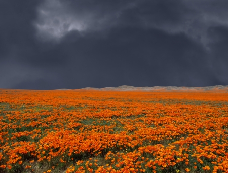 Thunderstorm looming over a bright California Poppy field Stock Photo - 20366250