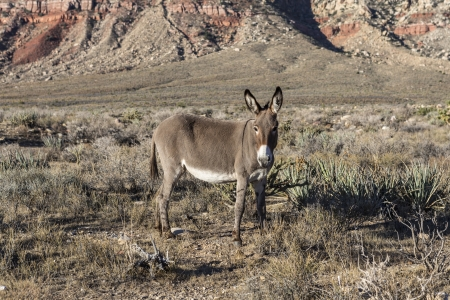 Wild Burro at Red Rock Canyon national Conservation Area in Southern Nevada, USA  Stock Photo - 23214679