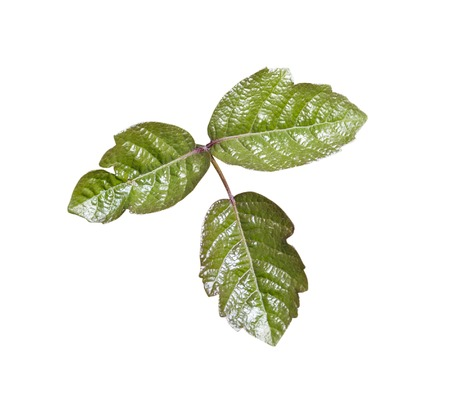 Poison Oak leaves isolated with clipping path. 版權商用圖片