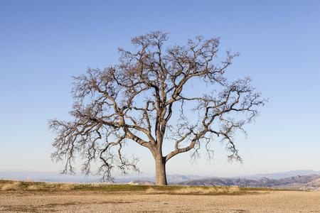 Leafless White Oak Tree with endless mountaintop view. Stock Photo