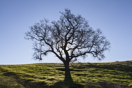 roble arbol: Sin hojas de roble blanco retroiluminada con hierbas de la primavera.