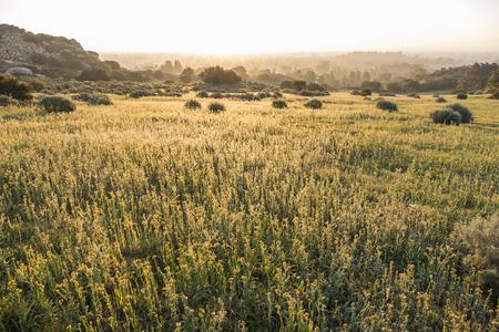 chatsworth: Fiddleneck wildflower meadow in the west San Fernando Valley area of Los Angeles, California.