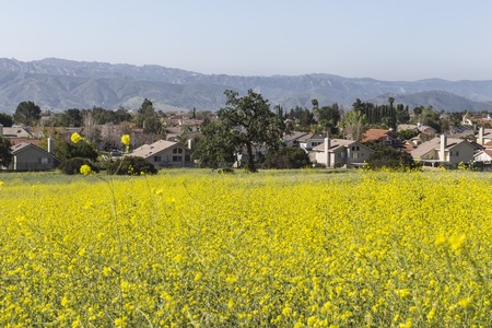 mustard field: Suburban Wild Mustard Meadow near Los Angeles Stock Photo