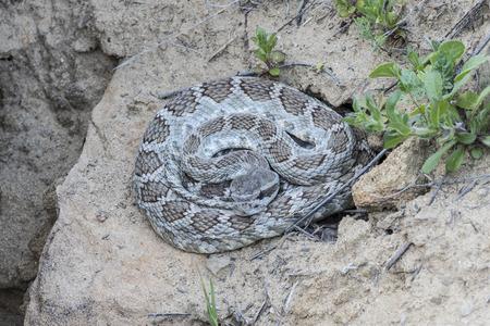 serpiente de cascabel: Serpiente de cascabel de Diamondback occidental Foto de archivo