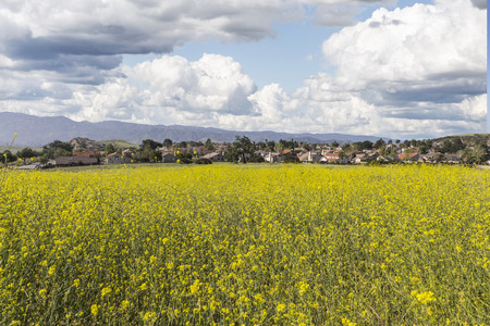 mustard field: Mustard flower spring meadow in suburban Simi Valley near Los Angeles, California.