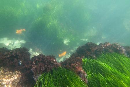 sea grass: Sea grass and Garibaldi fish near La Jolla cove in Southern California.