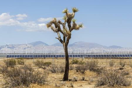 struggles: Lonely Joshua tree struggles to survive in front of massive industrial scale renewable energy wind and solar developments. Stock Photo