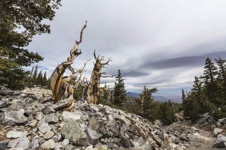 bristlecone: Bristlecone Pines in Great Basin National Park in Northern Nevada.  Bristlecone Pines are the oldest trees in the world. Stock Photo