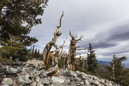basin mountain: Ancient Bristlecone Pines in Great Basin National Park in Northern Nevada.  Bristlecone Pines are the oldest trees in the world.