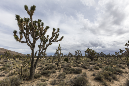 joshua: California desert Joshua Tree forest near Cima Road in the Mojave National Preserve. Stock Photo