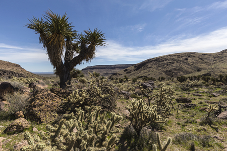 cholla: Desert garden along the Barber Loop trail in the Mojave National Preserve.