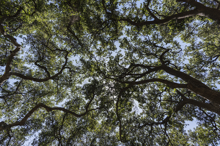 Upward view of old oak tree grove canopy at Corriganville Park in Simi Valley, California.   写真素材