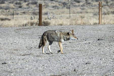 Herumstreifende Kojote überqueren Kiesparkplatz im Red Rock Canyon National Conservation Area in der Nähe von Las Vegas, Nevada.