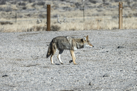 Prowling Coyote crossing gravel parking lot at Red Rock Canyon National Conservation Area near Las Vegas, Nevada. Banco de Imagens