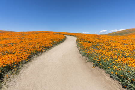 Inviting path through poppy wildflower super bloom field in Southern California. Stockfoto