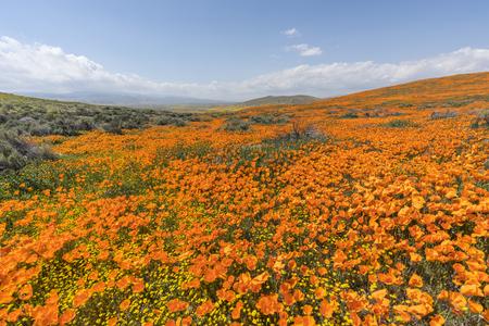 California poppy super bloom wildflower hillside near Lancaster in northern Los Angeles County. 免版税图像