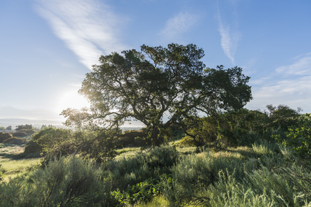 Early morning view of native California oak tree on hillside at Santa Susana Pass State Historic Park in the San Fernando Valley area of Los Angeles.