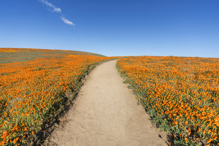 Inviting trail through poppy wildflower super bloom field in Southern California. Imagens - 122475440