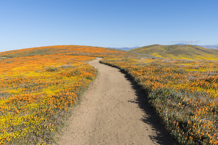 Path through rolling hills of California wildflowers near Lancaster in northern Los Angeles County.