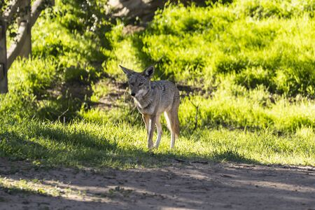 Large coyote on a morning prowl at Santa Susana Pass State Historic Park near Los Angeles and Simi Valley in Southern California.   Stock Photo