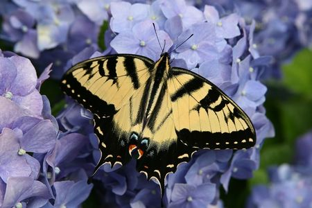 Close up of yellow and black Eastern Tiger Swallowtail butterfly on blue hydrangea
