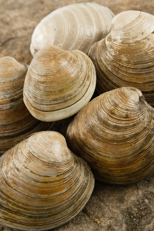 allergic ingredients: Close up view of fresh littleneck clams on a natural rock background with shallow depth of field - shellfish are a tasty treat but also a dangerous food allergen Stock Photo
