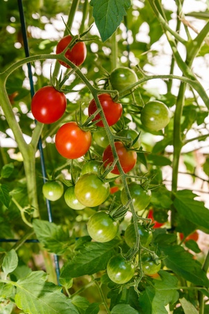 Homegrown cherry tomatoes growing on the vine in a vegetable garden shows green and red ripening fruit