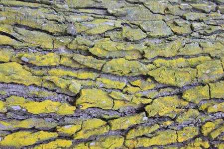 tree bark with green lichen Banco de Imagens
