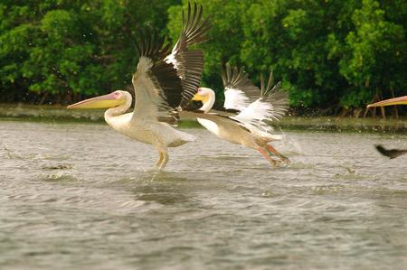 captured: Picture of pelicans captured in Senegal