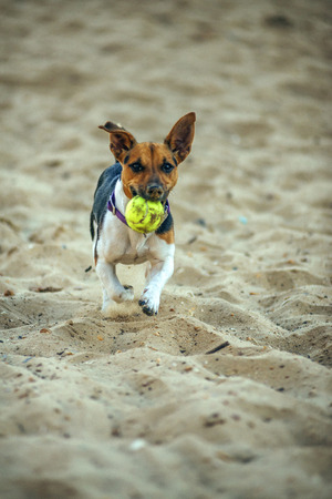 familiaris: Dog Jack Russell Terrier (Canis lupus familiaris) running with a ball in the beach