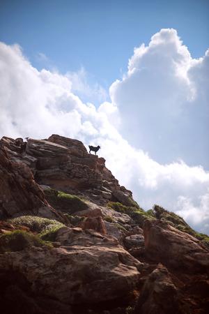 hircus: Spain, Balearic Islands, Menorca, Cala Pilar beach, Goats (Capra aegagrus hircus) in a mount top near the beach