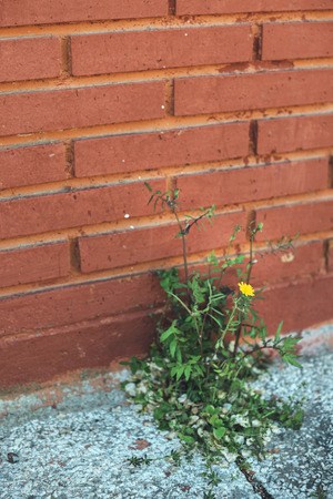stubbornness: weed growing through crack in pavement Stock Photo