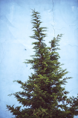 backstop: Pine tree in front o a blue wall Stock Photo
