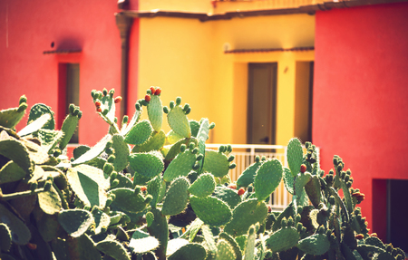 fico: Prickly pears (Opuntia ficus-indica) - also known as indian figs, opuntia, barbary figs, and cactus pears. Photo taken in Sicily, Italy Stock Photo