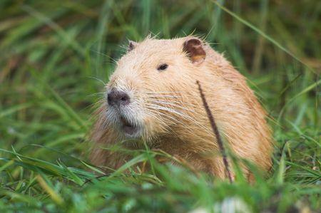 nutria: Red nutria in the grass