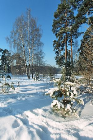 Winter landscape with pine and birch photo