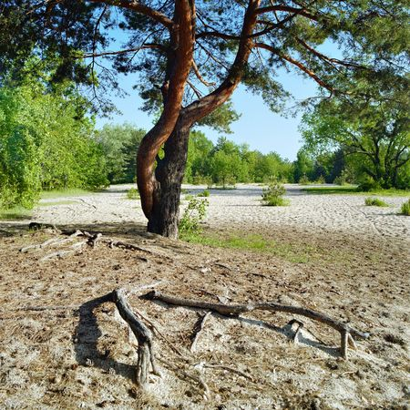 square root: Landscape with pine and roots Stock Photo