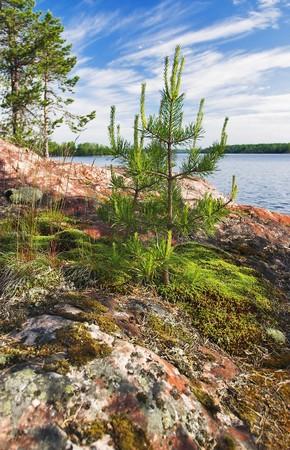 Small pine at stony shore of Ladoga lake, Russia photo