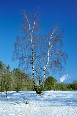 A single birch tree with a forked trunk at the snow-covered meadow in the winter forest photo
