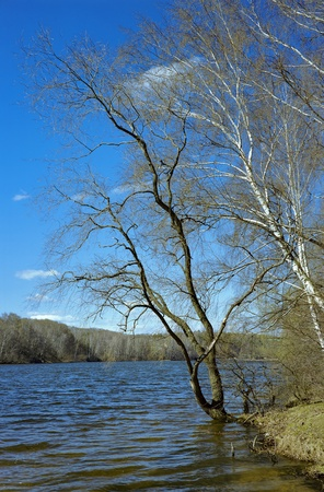 Willow at the river in early spring photo