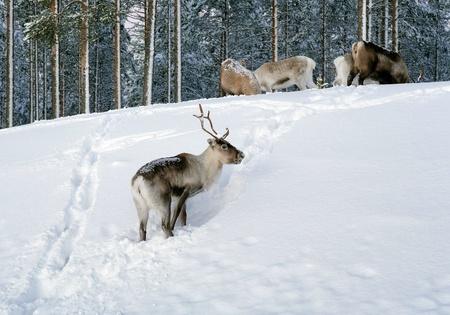 north woods: Reindeer in northern Sweden in winter